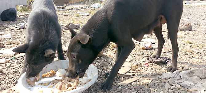 A pregnant loosely owned dog - the type of dog ripe for TNR.