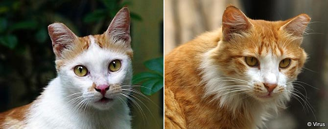 Left: A male cat's right ear is tipped. Right: A female cat's left ear is tipped.