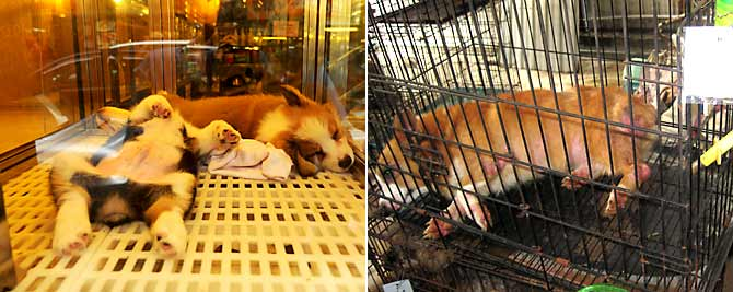 Cute Corgi pups in a HK pet shop.  Not so cute: Corgi mother in a HK puppy mill raided by SPCA.