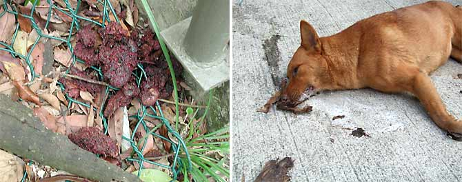 Poisoned bait laid at the side of Bowen Road and a dog victim. Many suffer a horrendously painful death.