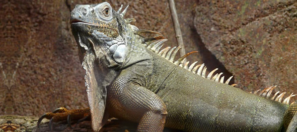 The Green Iguana is listed under CITES Appendix II