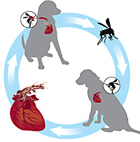 Heartworm lifecycle © Intervet Inc., a subsidiary of Merck & Co., Inc. Used by permission.