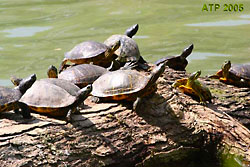 Group of Red-eared Sliders