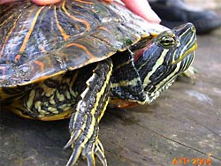 A Red-eared Slider