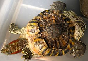 Due to long term incorrect diet, this Red-eared Slider suffered a severely deformed shell.
